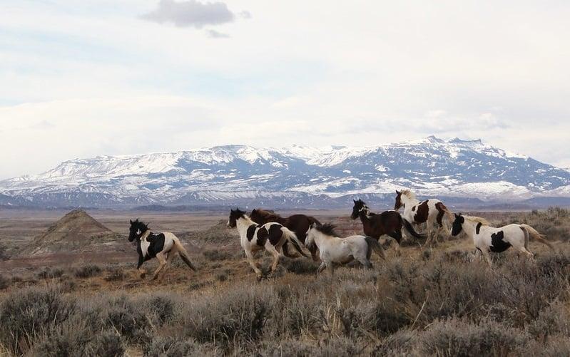 McCullough Peak wild horses